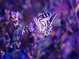 Butterfly in purples