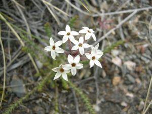 Flowers of specie Arjona Patagonian