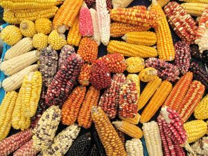 Corn of various types and colors