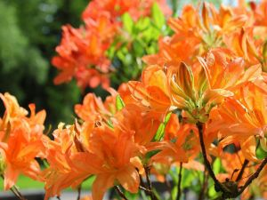 Orange color azaleas