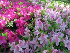 Azaleas in pink tones