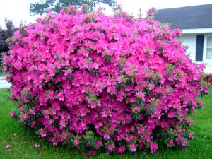 A large plant of azaleas in the garden