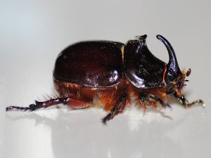 Rhinoceros Beetle near