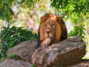 Lion lying between rocks