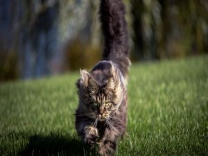 Cat running through the grass