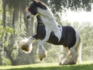 Horse with long fur