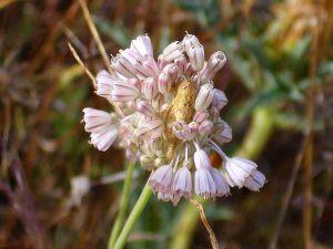Inflorescence of Allium paniculatum