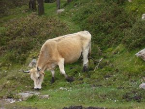 Asturian cow in the mountain