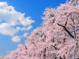 Cherry blossoms under the clouds