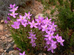 Centaurium quadrifolium