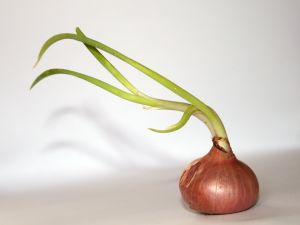 Onion with green stems