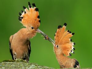 Two birds fighting for food