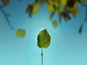 Leaf with long stem