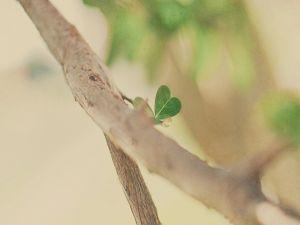 Small heart-shaped leaf
