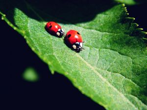 Two ladybirds on a green leaf