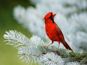 Beautiful red bird