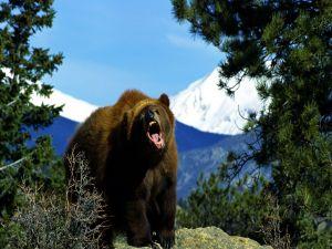 Big angry bear