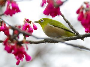 Bird on the branches of a cherry tree