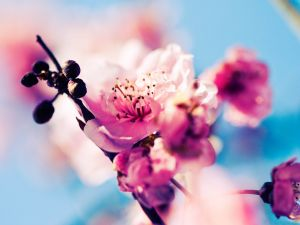 Flowers and fruits of a cherry tree