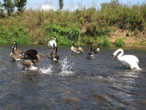 Swan chasing geese on the river Lahn