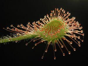 Sundew, carnivorous plant (Drosera rotundifolia)