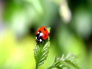 A shiny ladybug