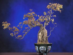 Bonsai trident maple (Acer buergerianum)