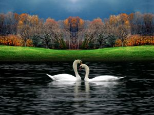 Couple of swans on a lake in autumn