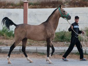 Horse of Akhal-Teke breed