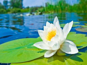 Flower and water lilies on water