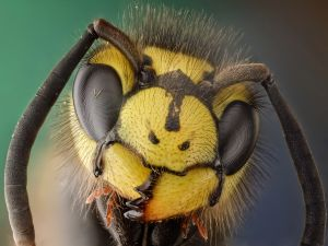 The head of a bee of close