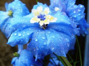 Wet blue flowers
