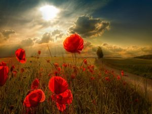 The sun on a field of red poppies