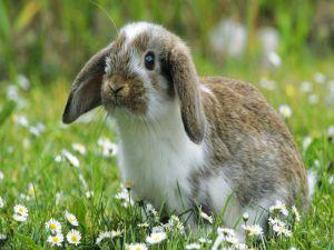 Rabbit among daisies