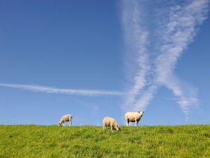 Three sheeps