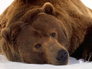 Gaze of bear