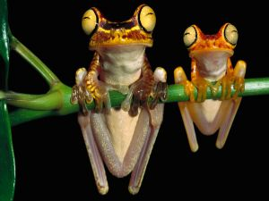 Two frogs clinging to a branch