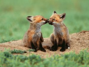 Foxes brothers