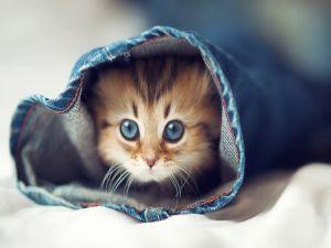 Kitten on the leg of a jeans