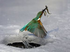 Bird fishing in the ice
