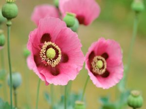 Opened poppies