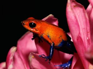A red and blue little frog