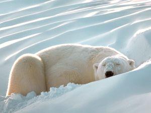 A polar bear resting