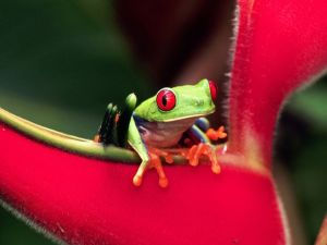 Green frog on a red flower