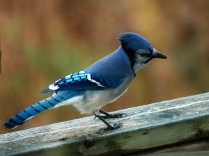 Bird with blue plumage