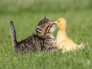 Friendship between a cat and a duck