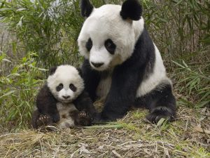 Panda Mom with her little cub