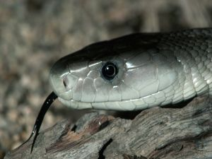 Snake with black tongue