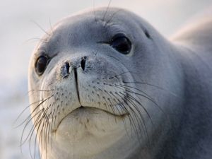 Face of a seal