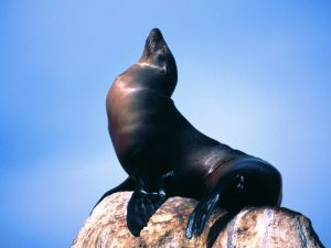 Sea lion on a stone